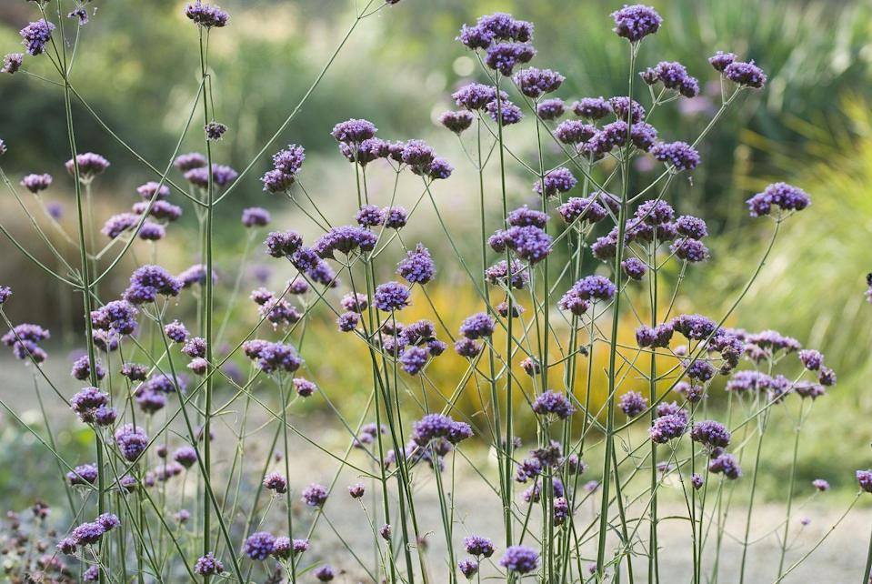 """<p><a href=""""https://www.amazon.com/Perennial-Marketplace-Verbena-Homestead-Purple/dp/B07MGJYN22/ref=asc_df_B07MGJYN22/?tag=syn-yahoo-20&linkCode=df0&hvadid=309735714375&hvpos=1o3&hvnetw=g&hvrand=6007653352907162209&hvdev=c&hvlocphy=9012544&hvtargid=pla-679051299990&psc=1&ascsubtag=%5Bartid%7C10069.g.28460765%5Bsrc%7Cyahoo-us"""" rel=""""nofollow noopener"""" target=""""_blank"""" data-ylk=""""slk:Verbena"""" class=""""link rapid-noclick-resp"""">Verbena</a> is more extensively known for its use in perfumes and essential oils, but the plant itself has gorgeous flowers that range in colors of blue, white, pink, and purple. Different varieties require different care, so make sure to research before you start planting.</p><p><strong>When it blooms: </strong>Summer and fall </p><p><strong>Where to plant:</strong> Full sun </p><p><strong>When to plant:</strong> Mid-summer to first frost</p><p><strong>USDA Hardiness Zones:</strong> 5 to 11</p>"""