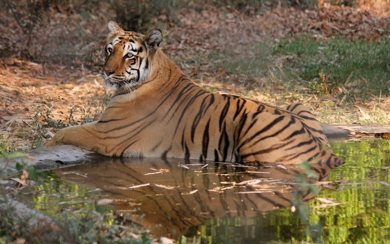 <p>A tiger resting in the water tank to protect itself from heat at Maharajbagh Zoo in Nagpur on March 31, 2017. (Photo: IANS) </p>