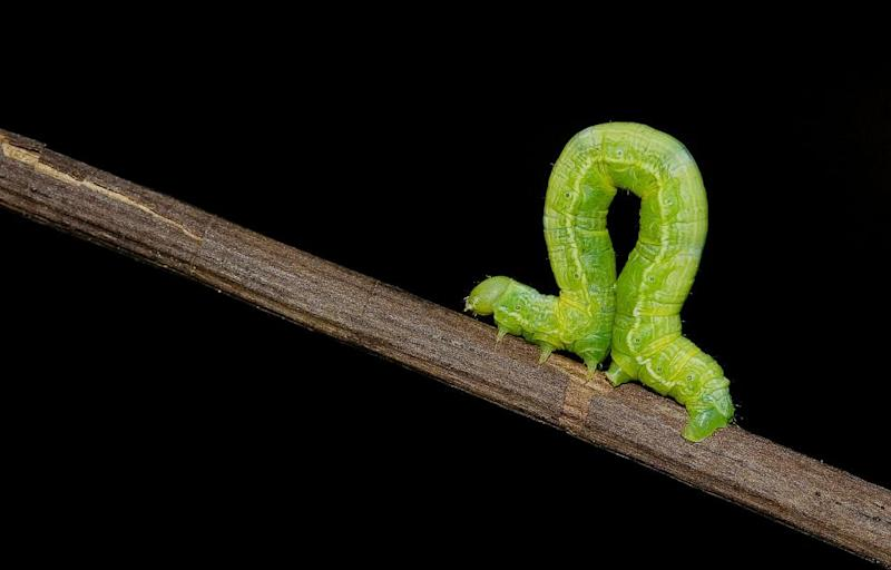 05_05_Inchworm_01