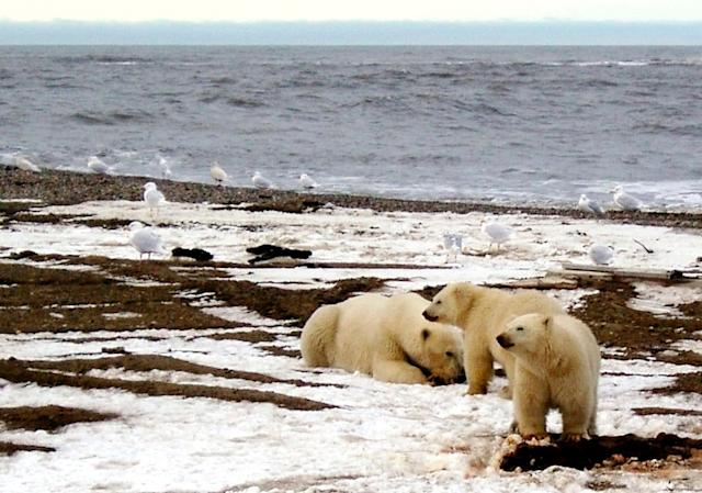 A polar bear and two cubs are seen on the Beaufort Sea coast within the 1002 Area of the Arctic National Wildlife Refuge.