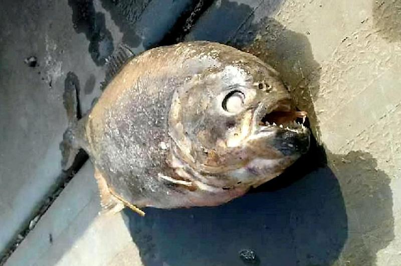 Piranhas have been found in a lake in Doncaster (SWNS)