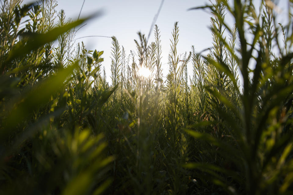"""An area adjacent to a field remains unmowed with growing marestail, grasses and other plants on Richard Wilkins farm in Greenwood, Del., Monday July 29, 2019. """"We're trying to do what we can,"""" said Wilkins, who shuns the federal farm habitat programs, but hopes that leaving what weeds and wildflowers survive in hard-to-mow areas helps the wildlife. (AP Photo/Carolyn Kaster)"""