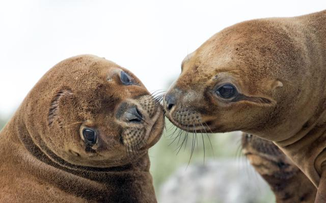 <p>A female sea lion plants a kiss on another sea lion at Volunteer Point, East Falklands. (Photo: Derek Pettersson/Caters News) </p>