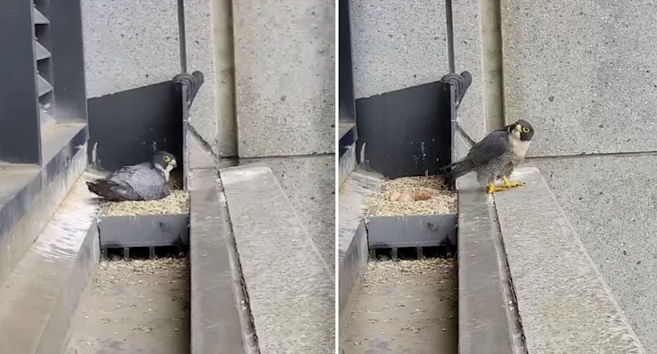 Many viewers initially thought a falcon living in Melbourne had been scared by the tremors. Source: Mirvac / VPP