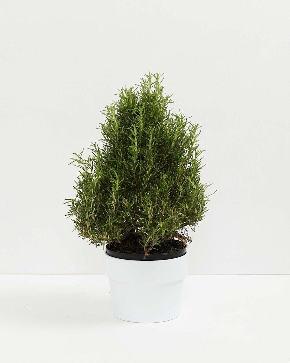 "<p>livelyroot.com</p><p><strong>$34.00</strong></p><p><a href=""https://www.livelyroot.com/products/rosemary-tree?variant=33071486435410"" rel=""nofollow noopener"" target=""_blank"" data-ylk=""slk:Shop Now"" class=""link rapid-noclick-resp"">Shop Now</a></p>"