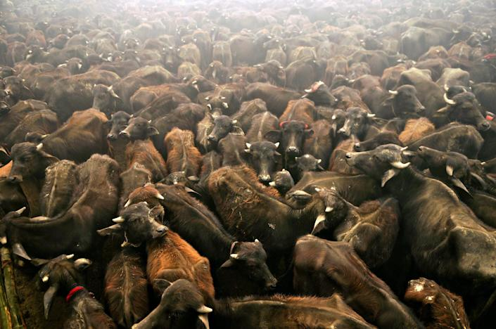 Sacrificial buffaloes stand in a holding pit before being slaughtered as offerings to the Hindu goddess Gadhimai in Bariyapur village in Bara district on November 24, 2009 (AFP Photo/Prakash Mathema)
