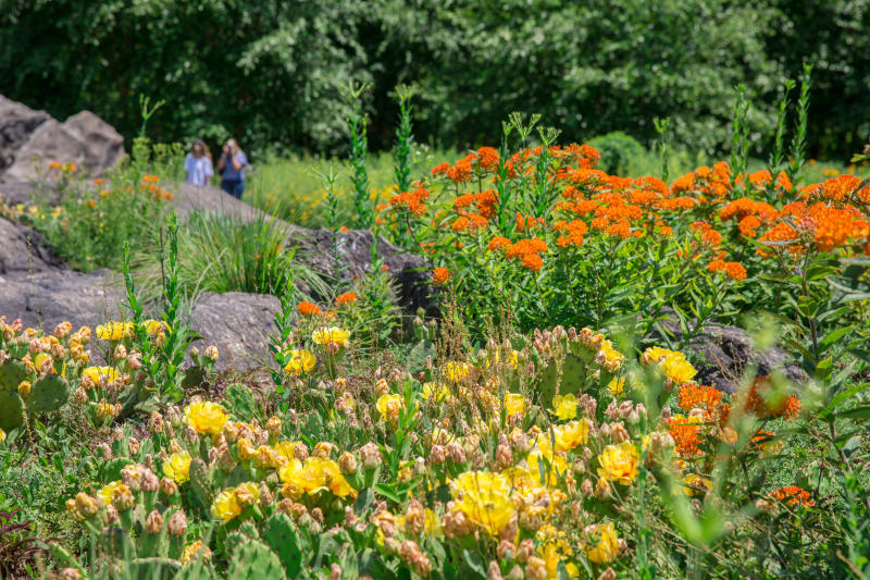 This undated photo provided by the New York Botanical Garden shows paddle cactus, butterfly milkweed, and little blue stem grass grow together in this sun drenched outcrop of the NYBG's Native Plant Garden in New York. These sun and heat-loving plants are perfectly at home in the warm and shallow soils of the rock outcrop, where they have happily self-seeded in the crevices. Many plant and landscape experts have begun thinking of plants in terms of communities, instead of as individual specimens. They recommend that home gardeners look to the wild for inspiration. (New York Botanical Garden via AP)