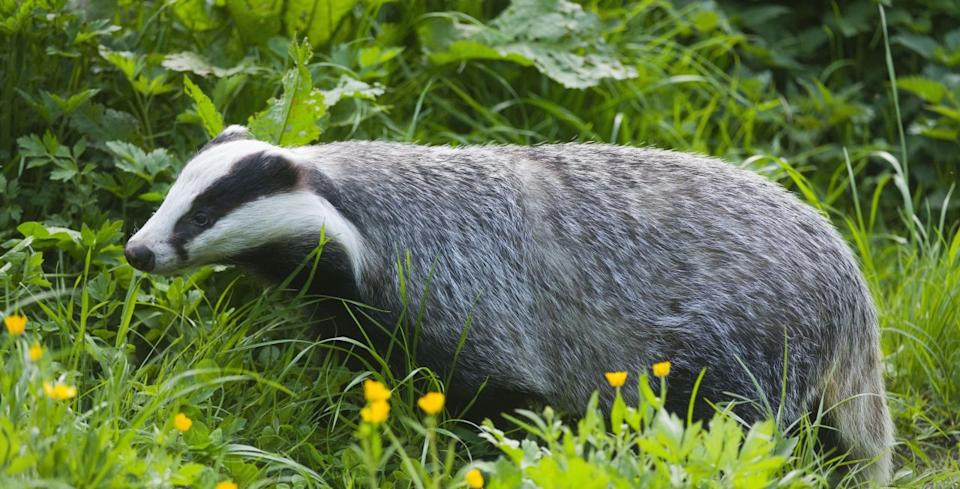 7 Things You Didn T Know About Badgers