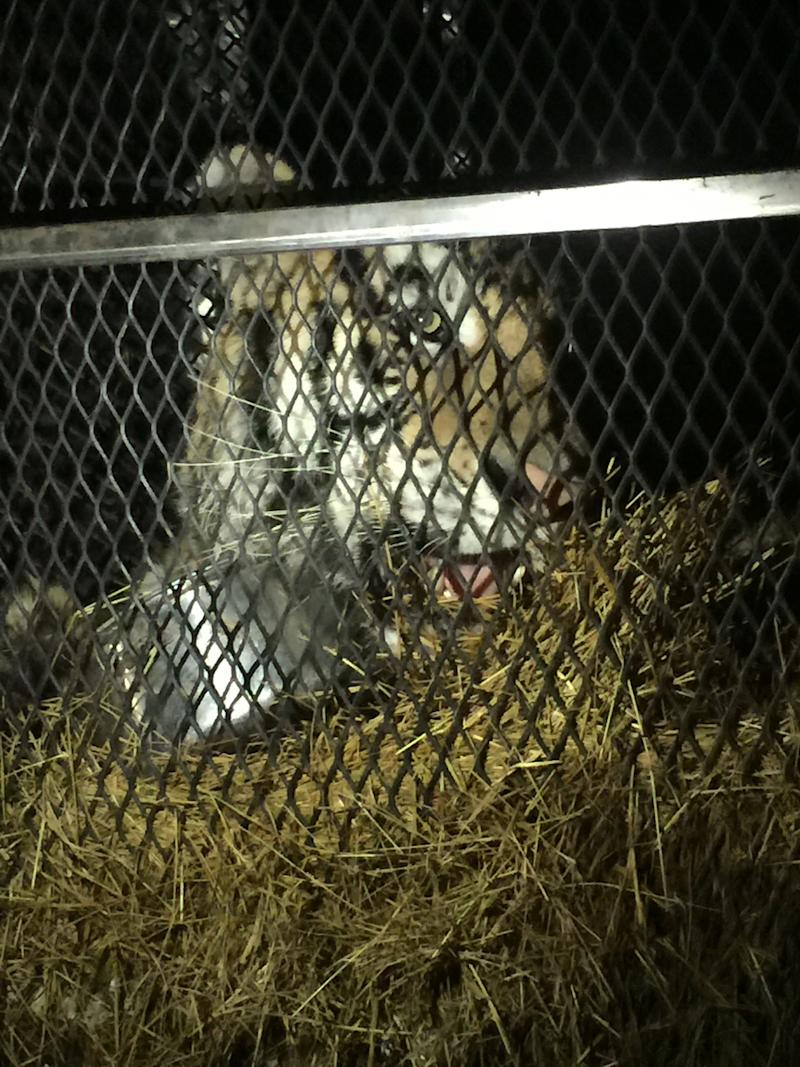Houston police found a tiger in a vacant home on Monday.