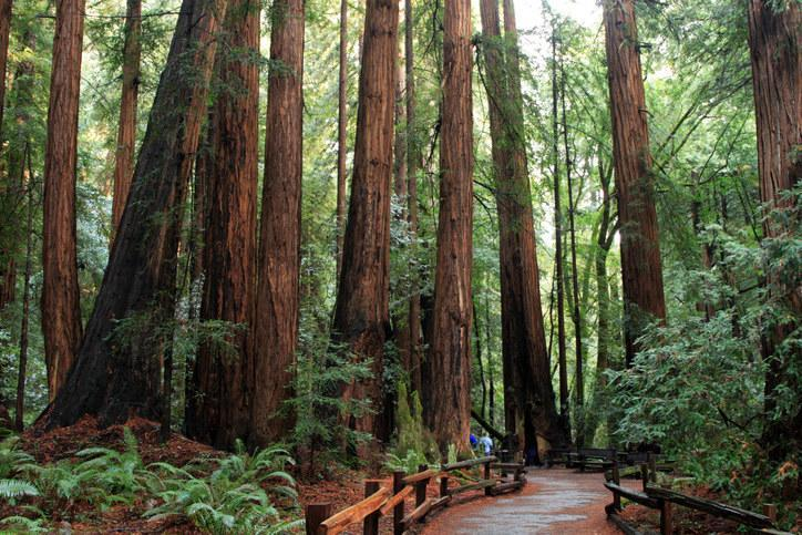 Muir Woods forest in California.