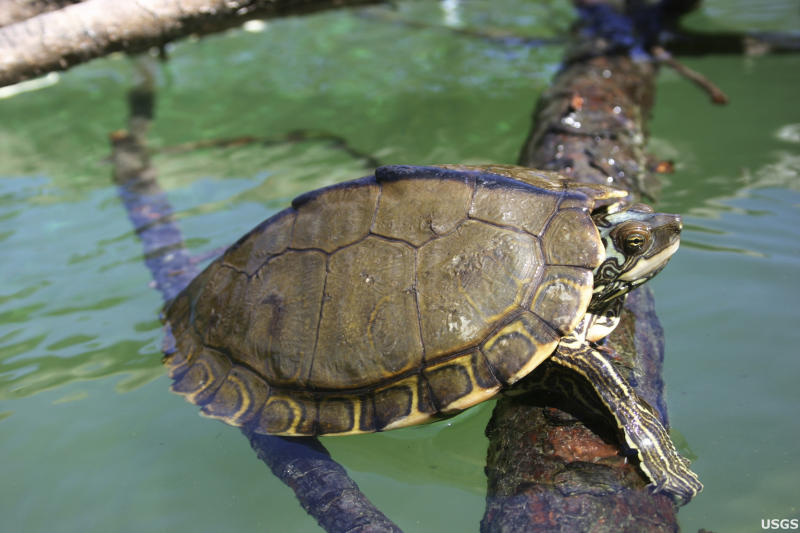 A Pearl River map turtle