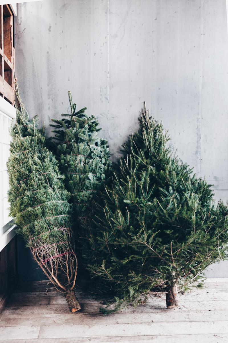 The Douglas fir, Nordmann fir and balsam fir shed less than other trees