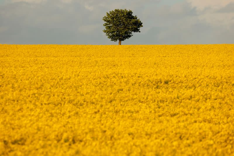 FILE PHOTO: A tree is seen in the middle of a yellow rapeseed field in Marquion,