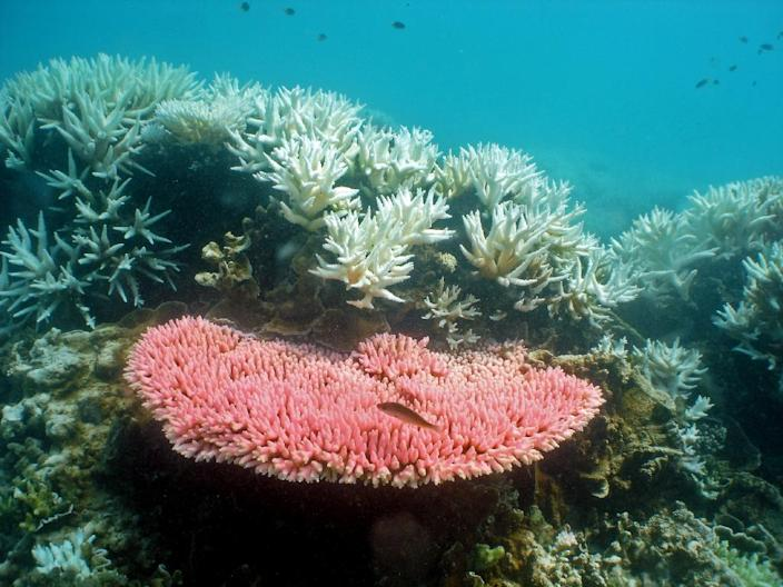The bleaching of the world heritage site, worth an estimated $42 billion and which is bigger than Britain, Switzerland and the Netherlands combined, is the result of rising sea temperatures and also the proliferation of predatory, coral-feeding crown-of-thorns starfish (AFP Photo/RAY BERKELMANS)