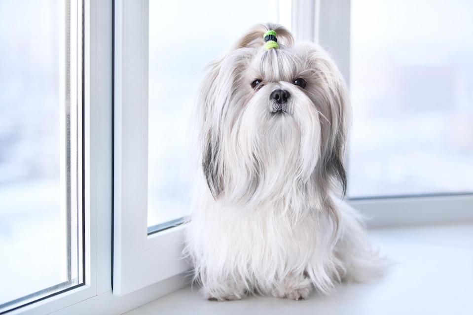 """<p>What the <a href=""""https://www.dailypaws.com/dogs-puppies/dog-breeds/shih-tzu"""" rel=""""nofollow noopener"""" target=""""_blank"""" data-ylk=""""slk:Shih Tzu"""" class=""""link rapid-noclick-resp"""">Shih Tzu</a> lacks in size, this breed makes up for in personality: They're affectionate, playful, and outgoing dogs. Jackson says, """"Their personalities will keep you laughing.""""</p>"""