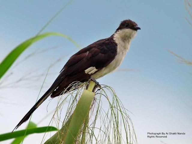 The <strong>Jacobin Cuckoo</strong>, also known as Pied Cuckoo, or Pied Crested Cuckoo (<em>Clamator jacobinus</em>), is seasonally migrant in India. Its presence is believed to herald the onset of monsoon. In Indian mythology and literature, it is known as papiha.