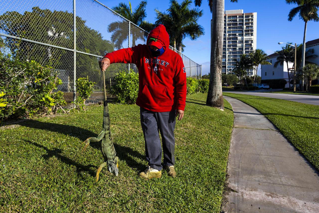 A maintenance worker holds an iguana immobilized from cold temperatures outside an apartment complex in West Palm Beach, Florida, U.S., on Wednesday, Jan. 22, 2020. Cold-stunned iguanas fell from trees in South Florida Wednesday morning as temperatures in Miami hit 40 degrees and wind chills reached in the 20s and 30s in South Florida, The National Weather Service reported. Photographer: Saul Martinez/Bloomberg