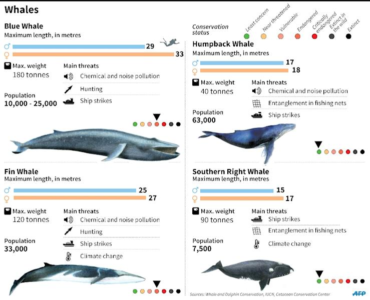 Factfile on whale species and threats to their survival. 180 x 146 mm (AFP Photo/Gustavo Izús, Anella Reta, Esther Poveda)