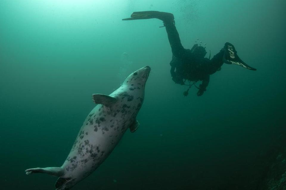 P22C93 A curious grey seal swims up to a scuba diver swimming along underwater
