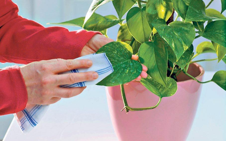 Wiping dust and dirt off houseplants can speed up photosynthesis, which leads to growth - GAP Photos / Friedrich Strauss