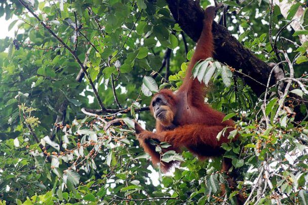 PHOTO: A Sumatran Orangutan Pongo forages in Southeast Aceh, Indonesia. April 4, 2021.  (Xinhua News Agency/Getty Images, FILE)