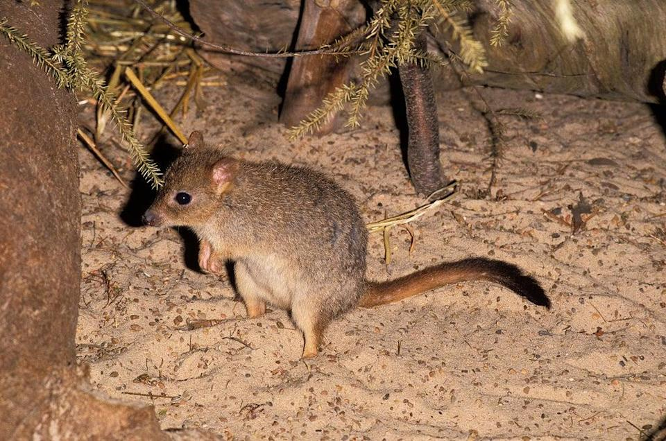The marsupials move tonnes of earth each year while digging for food, improving soil quality (Getty)