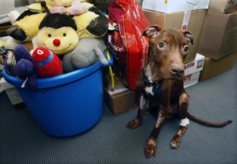 FILE - In this Tuesday, April 5, 2011, file photograph, a one-year-old pit bull nicknamed Patrick sits, near piles of gifts donated to him as he recovers at Garden State Veterinary Specialists in Tinton Falls, N.J., after being found starved and dumped in a trash chute. The Essex County Prosecutor's Office says 29-year-old Kisha Curtis pleaded guilty Tuesday, July 30, 2013, in Newark to a count of 4th degree animal cruelty. (AP Photo/Mel Evans,file)