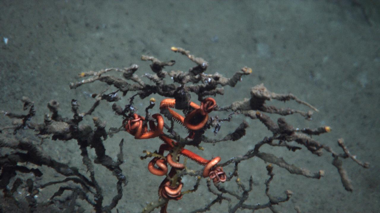 This October 2010 photo provided by Penn State University shows the arms of a brittle starfish, red in color, clinging to coral damaged by the Macondo well in the Gulf of Mexico. After months of laboratory work, scientists say they can definitively finger oil from BP's blown-out well as the culprit for widespread damage and the slow death of a deep-sea coral community in the Gulf of Mexico. (AP Photo/NOAA and Woods Hole Oceanographic Institute)