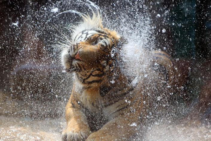 <p>A tiger takes the outdoor shower at a zoo on June 29, 2016 in Jinan, Shandong Province of China. Animals prevent sunstroke in many ways to cool themselves in hot summer in Jinan. (VCG/VCG via Getty Images) </p>