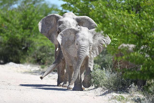 <p>Two elephants move down the W-shaped road leading from Gaseb to Gembokvlakte toward a watering hole created by heavy rains days earlier. (Photo: Gordon Donovan/Yahoo News) </p>