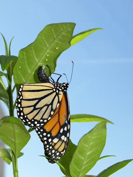 As Milkweed Disappears, Monarchs are Fading Away (Op-Ed)