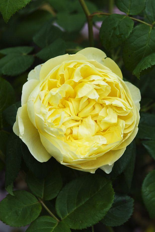 <p>The yellow blooms on this plant are some of the largest you can find on an English rose. It grows as a bushy four-foot shrub, so plant it in the front of a border for maximum impact. It'll do well even in part sun. </p>