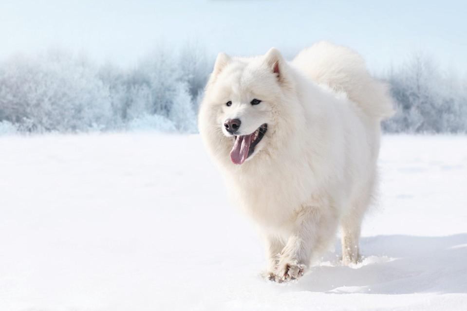 "<p>The <a href=""https://www.akc.org/dog-breeds/samoyed/"" rel=""nofollow noopener"" target=""_blank"" data-ylk=""slk:Samoyed"" class=""link rapid-noclick-resp"">Samoyed</a>—also known as Sammies—were built for hard work in the world's coldest locales. Their signature all-white coat is impervious to freezing temperatures; consequently, they shed quite a bit and even more so during shedding season, which occurs once or twice a year. These are smart, mischievous dogs who need diligent training.</p>"