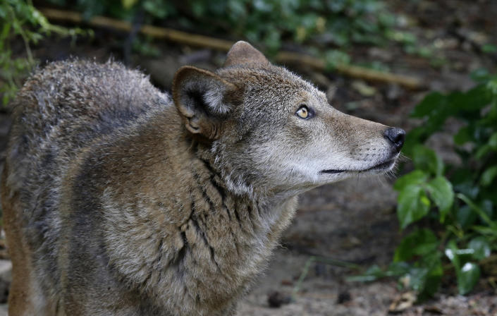 FILE - In a Monday, May 13, 2019 file photo, a red wolf roams its habitat at the Museum of Life and Science in Durham, N.C. Wildlife advocates have returned to court to prod the federal government to jump-start recovery efforts for the critically endangered red wolf, while North Carolina Gov. Roy Cooper issued a sharply worded letter urging further action. Amid the pressure, federal biologists plan to transfer wolves from elsewhere into the recovery area for the first time in years to promote wild breeding. (AP Photo/Gerry Broome, File)