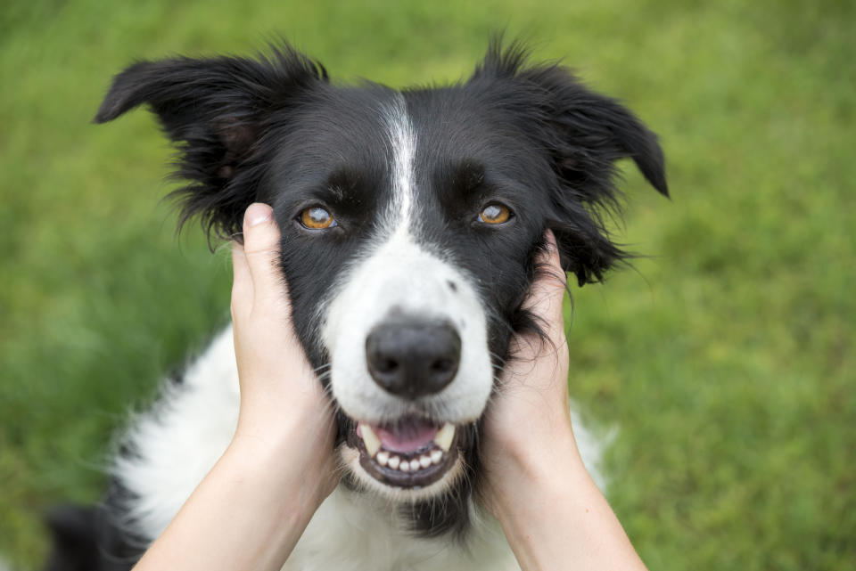 More than 300 dogsin Western Australia and the Northern Territory have nowtested positive for the disease.