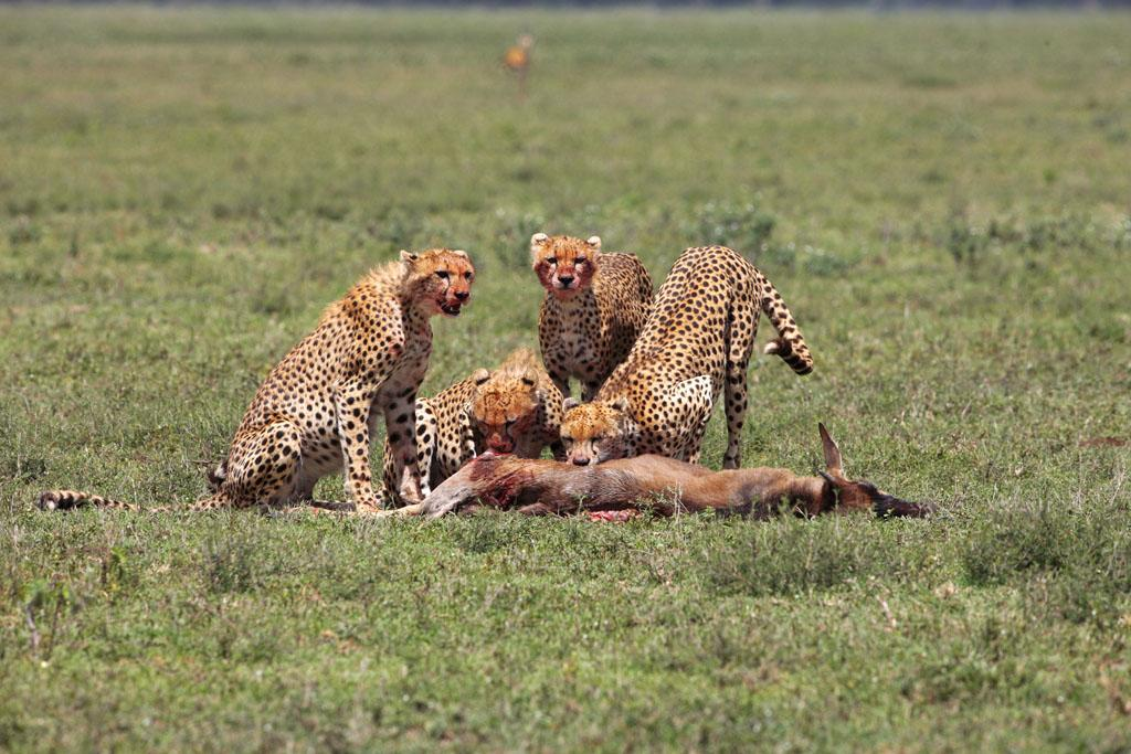 Serengeti/Massai Mara - The cheetah siblings have survived and their young mother did a good job.