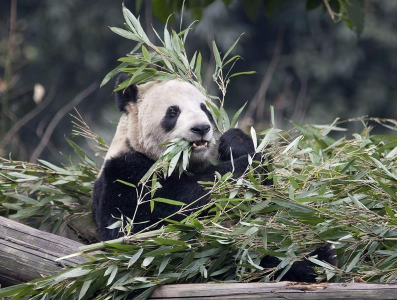 Airline steps up to provide Calgary Zoo with bamboo for picky pandas