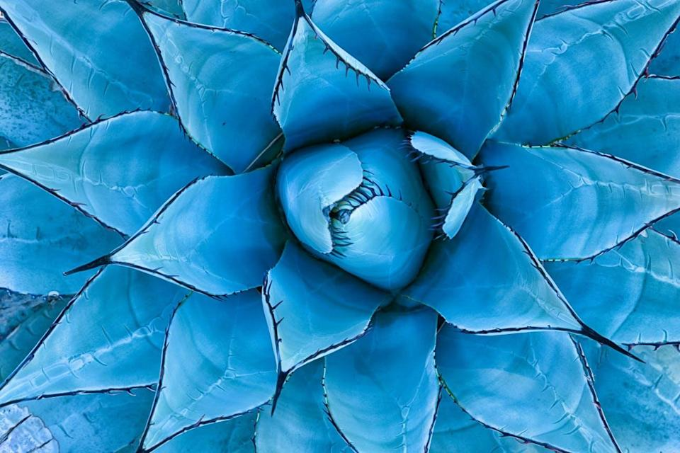 A closeup view of a blue agave plant
