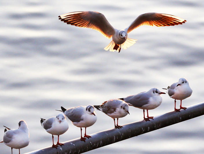<p>A gull tries to land on an occupied pole at the river Main in Frankfurt, Germany, Nov. 29, 2016. (AP Photo/Michael Probst) </p>