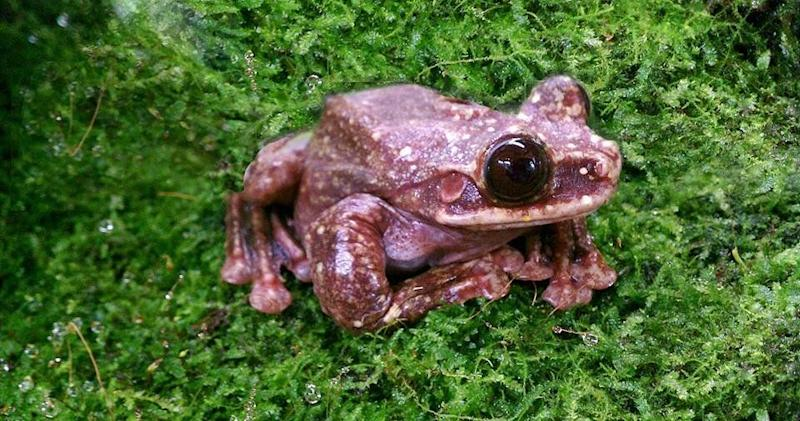 """In&nbsp;September, Toughie, the loneliest frog on Earth, died at the age of 12. He&rsquo;s believed to have been the very last <a href=""""http://www.huffingtonpost.com/entry/toughie-loneliest-frog-dead_us_57f33c4ee4b01b16aafebb0c"""">Rabbs&rsquo; fringe-limbed tree frog</a> on the planet, a Panamanian species known for being excellent climbers and gliders, with a most peculiar <a href=""""https://www.youtube.com/watch?v=_yrobDYyOBI"""" target=""""_blank"""">bird-like call</a>. <br /> <br />Conservationist Mark Mandica, who worked with the amphibian and whose <a href=""""http://www.huffingtonpost.com/leilani-munter/the-loneliest-frog-in-the_b_5940426.html"""">young son named the frog</a>, said at the time that Toughie&rsquo;s death served as a reminder of the many species that have been wiped out&nbsp;&ldquo;before we even knew that they were there.&rdquo; <br /><br />Scientists first identified Toughie&rsquo;s species in 2005 &mdash; the year a group of researchers went to central Panama in a race to collect live animals before a <a href=""""http://news.nationalgeographic.com/2016/04/160407-frog-rescue-chytrid-fungus-honduras-cusuco-jonathan-kolby/"""">deadly chytrid fungus</a> consumed the area. <br /><br />It&rsquo;s believed the Rabbs&rsquo; tree frog population did not survive the &ldquo;catastrophic&rdquo; fungus, which has been <a href=""""http://www.bbc.com/news/science-environment-19199197"""">linked to climate change</a> and poses a serious threat to amphibian populations worldwide. In Panama alone, the disease has led to the extinction of&nbsp;<a href=""""http://news.nationalgeographic.com/news/2010/07/100720-amphibians-lost-species-extinct-panama-science-environment/"""">at least 30 frog species</a>. Like the Rabbs&rsquo; frog, several of the lost species were newly discovered.&nbsp; <br /><br />After being rescued from Panama, Toughie was brought to the Atlanta Botanical Garden, where he lived alone in a climate-controlled facility known as the Frog Pod until his death. <br /><br />Toughie had """