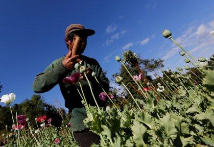 A man harvests opium as he works in an opium field outside Loikaw, Kayah state, Myanmar, November 30, 2016. Picture taken on November 30, 2016. REUTERS/Soe Zeya Tun