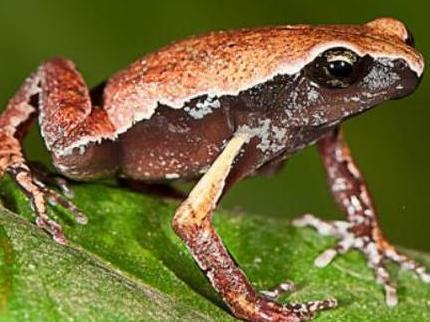 'Mysterious' new frog species discovered in roadside puddle