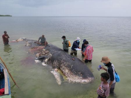 A stranded whale with plastic in his belly is seen in Wakatobi, Southeast Sulawesi, Indonesia, November 19, 2018 in this picture obtained from social media. KARTIKA SUMOLANG/via REUTERS