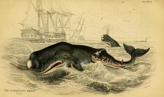 Nineteenth-century whalers pursued sperm whales for their oil. But sometimes, the whales fought back.
