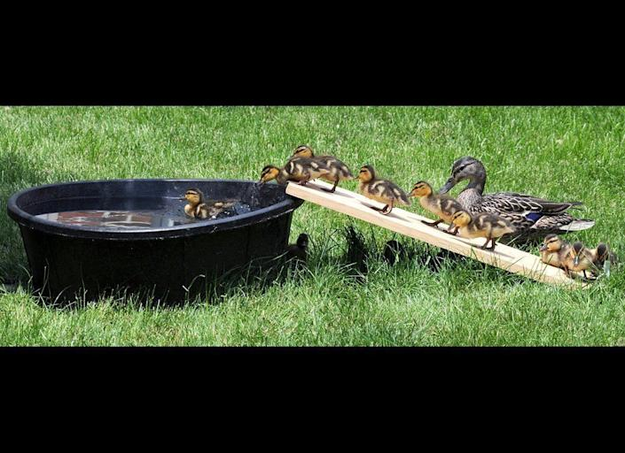 """In this Wednesday, May 25, 2011 photo, baby ducklings climb up a board ramp to access their """"pond"""" that was made for swimming in the inner courtyard of St. Anne's Retirement Community near Lancaster, Pa. The ducklings have been entertaining the residents of the retirement community with their antics."""