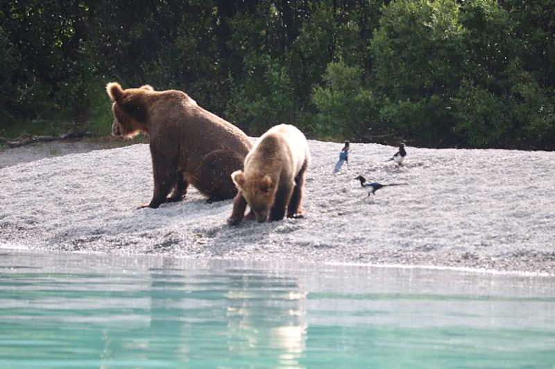 Mama bear teaches her cub how to fish. (Photo by Simon Johnson)