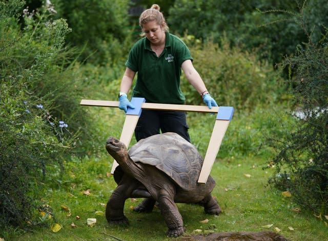 Keeper Charli Ellis with Polly the Galapagos tortoise during the annual weigh-in at ZSL London Zoo