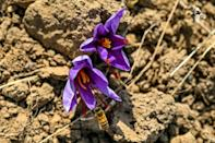 Saffron is the world's most expensive spice; collecting it involves plucking the crimson threads from inside purple crocus flowers