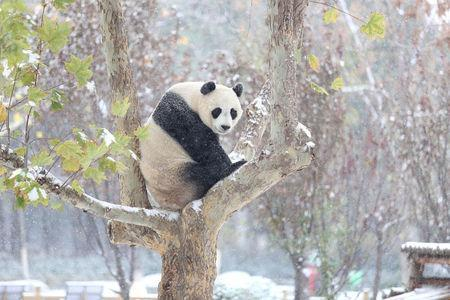A giant panda sits on a tree during the first snow in Jinan, Shandong province, November 24, 2015. REUTERS/Stringer/File Photo