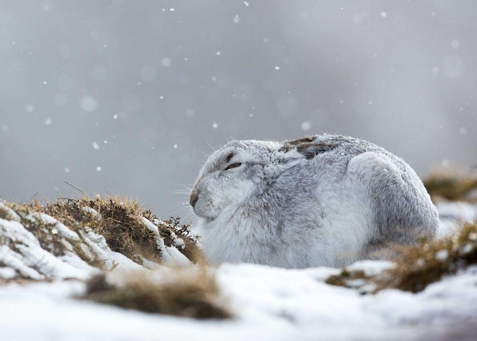<p>A mountain hare hunkers down in a snow storm in the Cairngorm Mountains</p>